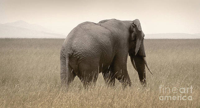 Elephant on the plains by Tina Broccoli
