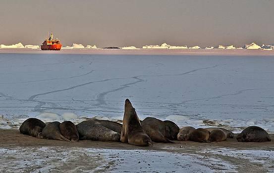 Elephant Seal 01 by David Barringhaus