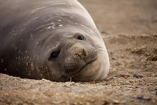 Elephant Seal 02 by David Barringhaus