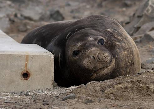 Elephant Seal 04 by David Barringhaus