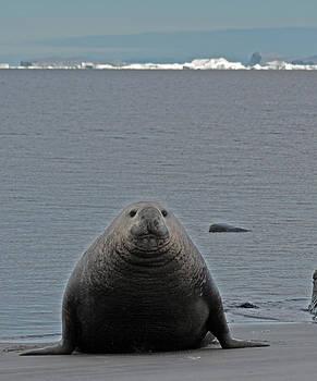Elephant Seal 07 by David Barringhaus
