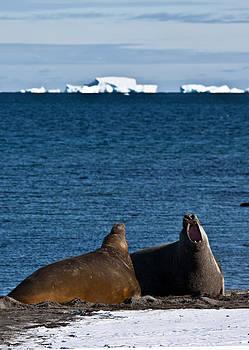 Elephant Seal 12 by David Barringhaus