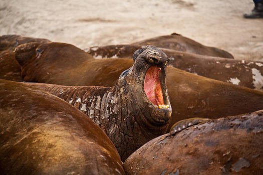 Elephant Seal 15 by David Barringhaus