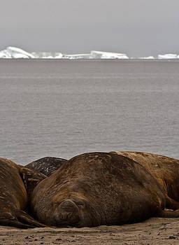 Elephant Seal 16 by David Barringhaus