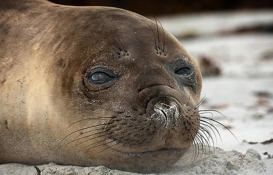 Elephant Seal pup by Paul Davis