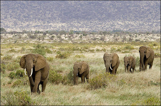 Elephant Trail by Bob Falconer