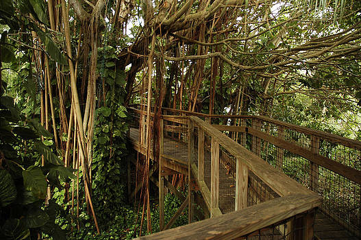 Carol Vanselow - elevated path going through banyan tree