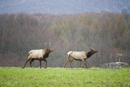 Darlene Bell - Elk Chase