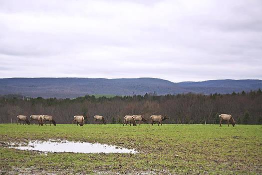 Darlene Bell - Elk Herd