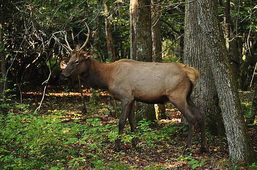 Elk in the Smokies by Jeff Moose
