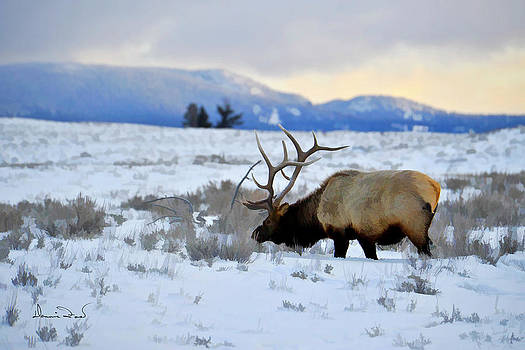 Elk in Yellowstone by Dennis Fast