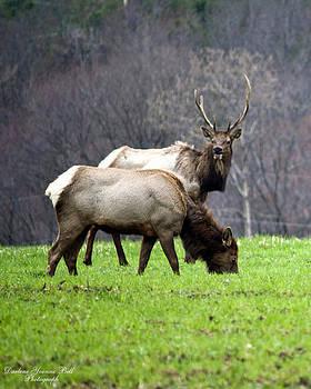 Darlene Bell - Elk Pair