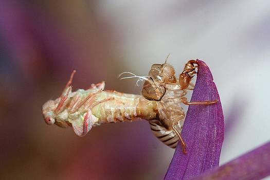 Emerging Cicada by April Wietrecki Green
