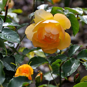 English Rose by Jayne Howard