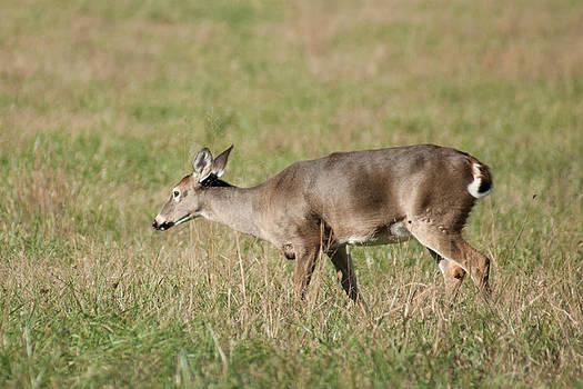 Entranced Deer  by Tony Hammer