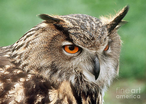 Eurasian Eagle Owl by Doug Herr