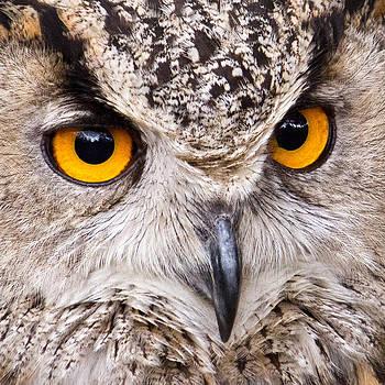 David Pringle - European Eagle Owl