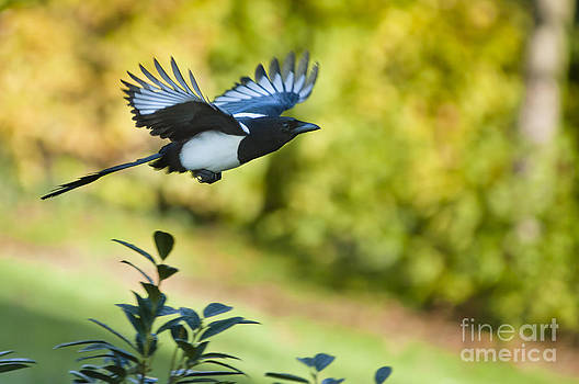 European magpie by Andrew  Michael