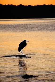 Evening Heron by Royce Gorsuch