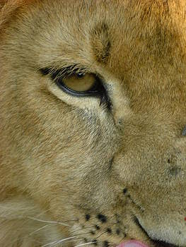 Eye of the Lion by Barbara Allm