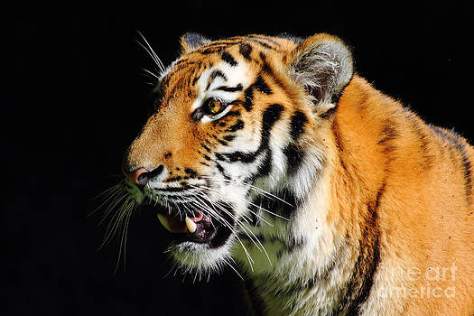 Eye of the Tiger by Holger Ostwald