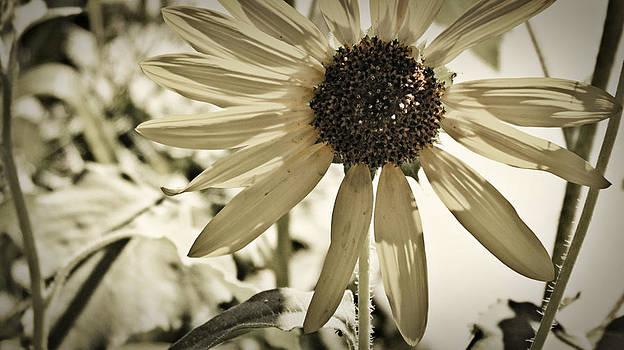 Faded flower by Carol Kristensen