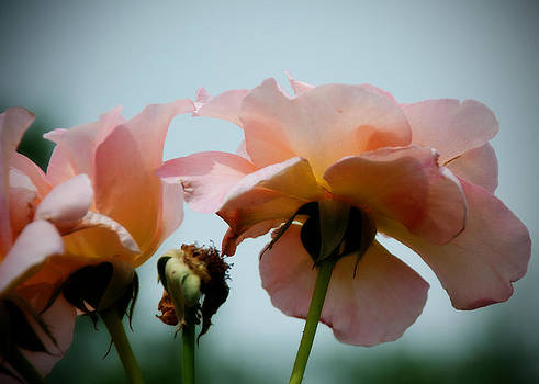 Fading Rose Blooms by Richard Bramante