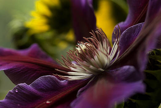 Fall Clematis by Cindy Rubin
