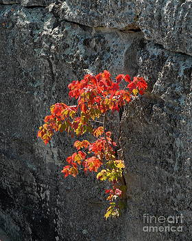Fall Colors in Cliff by Curtis Brackett