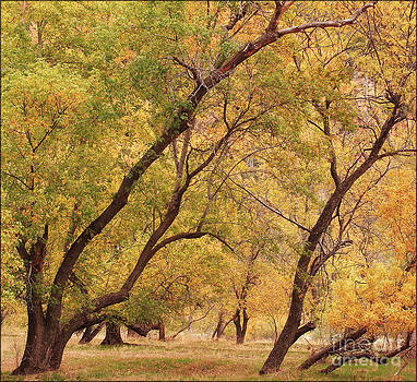Fall Cottonwoods Zion by George Hodlin