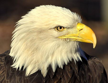 Marty Koch - Fall Eagle 1