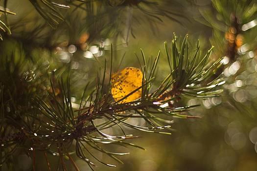 Fall in Evergreens by Dawn Morrow