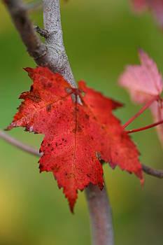 Fall Leaf by Brady D Hebert