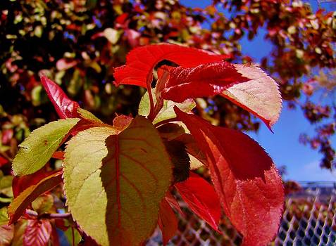 Fall Leaves by Aliesha Fisher
