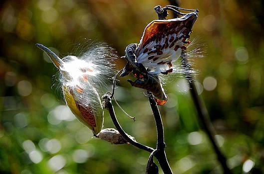 Fall Milkweed by Debbie Cook