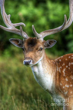 Yhun Suarez - Fallow Deer