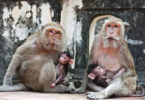Family of monkeys  by Sattapapan Tratong