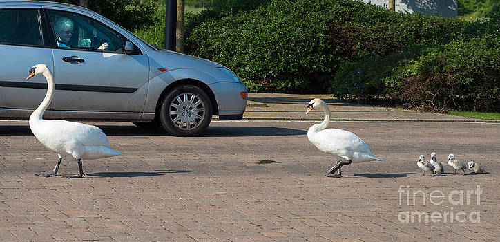 Family of Swans cross the road by Andrew  Michael