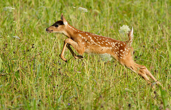 Fawn Bounce  by Glenn Lawrence