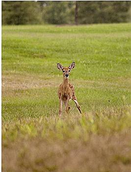 Fawn by Chris Albritton