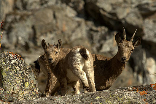 Female and goatling of Siberian ibex by Michal Cerny
