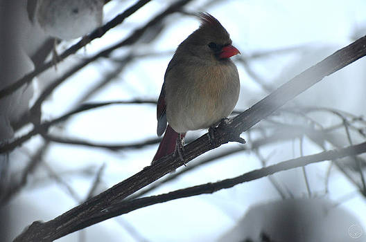 Female cardinal in the snow by Healing Woman