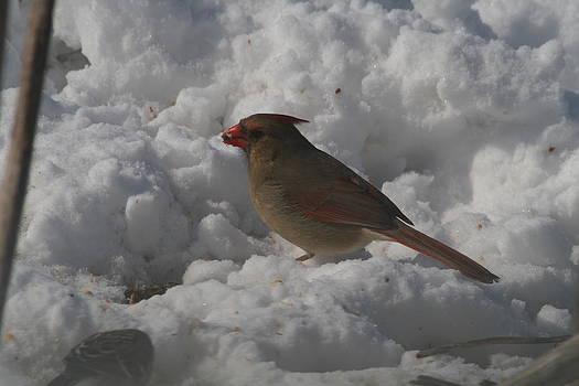 Female Cardinal snow feeding by Ralph Hecht