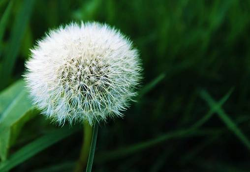 Female Dandelion by Trevor Pacelli