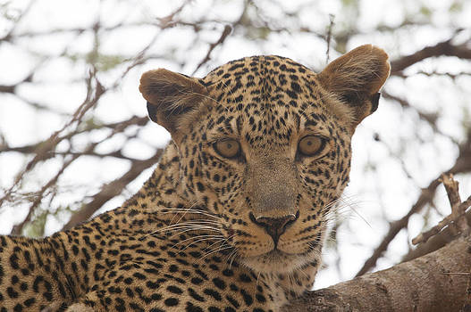 Female Leopard Close-Up by Howard Kennedy