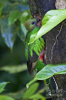 Heiko Koehrer-Wagner - Female Quetzal at nest site