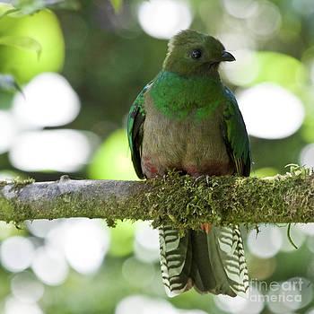 Heiko Koehrer-Wagner - Female Quetzal Profile