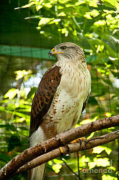 Ferruginous Hawk by Rachel Duchesne
