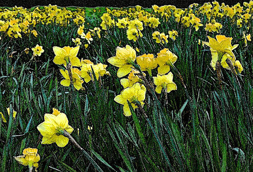 Field of Daffodils by Michael Austin