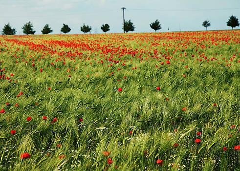 Field of Poppies 2 by Falko Follert